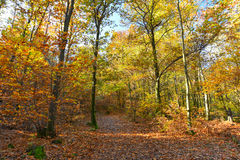 Autumnal forest with yellow leaves Royalty Free Stock Photo
