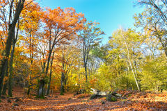 Autumnal forest with yellow leaves Royalty Free Stock Photography