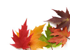 Autumnal frame of colored leaves. Autumn colored leaves on white background Stock Images