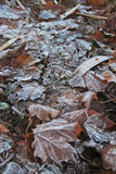 Autumnal frozen leavs carpet Royalty Free Stock Image