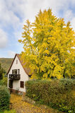 Autumnal ginkgo biloba Royalty Free Stock Image