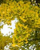 Autumnal ginkgo biloba Stock Photography