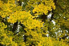Autumnal ginkgo biloba Royalty Free Stock Images