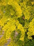 Autumnal ginkgo biloba Royalty Free Stock Photography