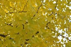 Autumnal ginkgo leaf Stock Images