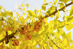 Autumnal ginkgo seed and tree Stock Photo
