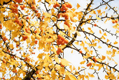 Autumnal ginkgo tree  Stock Image