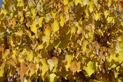 Autumnal gold colored leafage of cercis canadensis. Autumnal golden colored leafage of cercis canadensis Royalty Free Stock Image