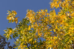 Autumnal golden foliage of ash on background of blue sky Stock Photography
