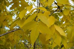 Autumnal golden leafage of red ash. Autumnal golden yellow leafage of red ash Royalty Free Stock Images