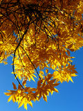 Autumnal golden leaves Stock Image