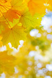 Autumnal golden maple leaves in blurred background Royalty Free Stock Photos