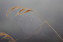 Autumnal gossamer on the reed Royalty Free Stock Photos