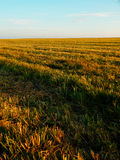 Autumnal grain field Royalty Free Stock Images