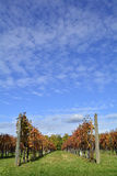 Autumnal Grape Vines Stock Image