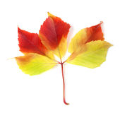 Autumnal grapes leaf on white background Stock Photo