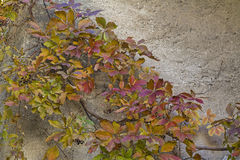 Autumnal grapevine detail Stock Images