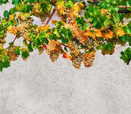 Autumnal grapevine Stock Photography