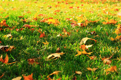 Autumnal grasslands. Autumnal grassplot,green grass,golden fallen leaves,the soft sunshine Royalty Free Stock Images