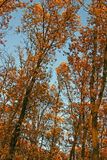 Autumnal group of rusty branches Royalty Free Stock Images