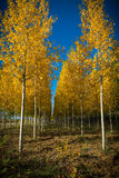 Autumnal grove of black poplars Stock Images