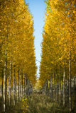 Autumnal grove of black poplars Royalty Free Stock Photography