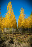 Autumnal grove of black poplars Stock Photography