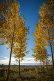 Autumnal grove of black poplars Royalty Free Stock Images