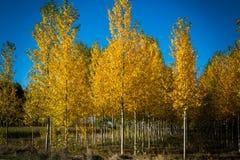 Autumnal grove of black poplars Stock Photo