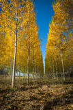 Autumnal grove of black poplars Royalty Free Stock Image