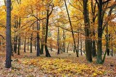 Autumnal hardwood forest - oak trees Royalty Free Stock Image
