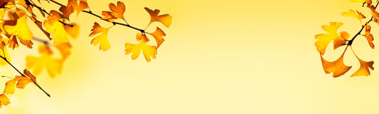 Autumnal header with ginkgo biloba leaves Royalty Free Stock Photo