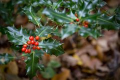 Autumnal Holly Leaves and Berries Stock Photo
