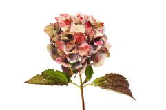 Autumnal hydrangea flower. Autumnal colours in a fading hydrangea flower and leaves isolated against white stock images