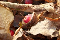 Autumnal image. Brown leaves and small red apples underfoot Stock Photography