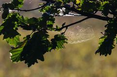 SPIDER WEB. Autumnal image on the branches of an oak tree Stock Photo