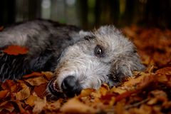 Autumnal irish wolfhound. stock photo