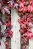Autumnal ivy leafs on the wood wall Royalty Free Stock Photography
