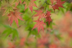 autumnal japanese maple leaves in a japanese garden stock photography