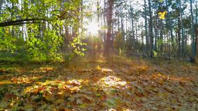Autumnal Landscape Against Bright Sunlight. This is a picturesque shot of a beautiful autumnal landscape with trees and fallen leafage lying on the ground stock video footage