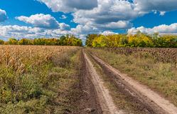 Autumnal landscape with earth road between sunflower and maize field Stock Photo