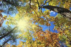 Autumnal landscape. Oak trees, blue sky and sun Royalty Free Stock Images
