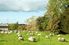Sheep grazing in an autumn meadow in the English countryside. An autumnal landscape scene with some sheep in the United Kingdom Stock Image