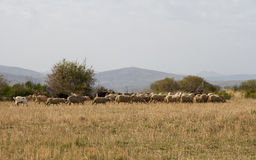 Autumnal Landscape with Sheep and Goats Stock Photo