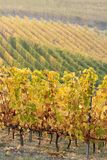 Autumnal landscape of vines and hills in Langhe, Northern Italy Royalty Free Stock Images