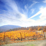 Autumnal landscape with yellow vineyard Royalty Free Stock Image