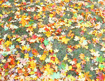 Autumnal lawn Royalty Free Stock Images