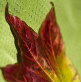 Autumnal Leaf Royalty Free Stock Photography