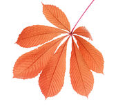 Autumnal leaf. Colorful Autumnal leaf, isolated on white background Royalty Free Stock Photography