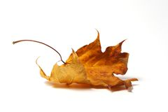Autumnal Leaf. Fallen, crumpled, yellow and brown leaf on white background royalty free stock images